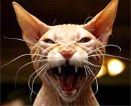 cat-evil