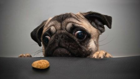 cute-pug-dog-looking-for-food