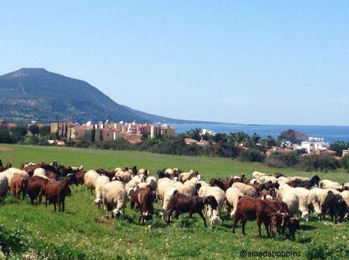 Aphrodite mountain goats