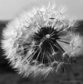 Dandelions3