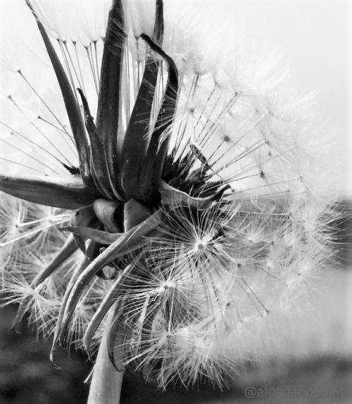 Dandelions5
