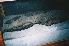 4000 YR OLD CROC